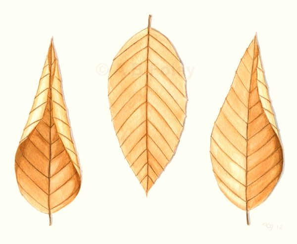 print from a minimalist watercolor illustration of three tan colored beech leaves on a white background