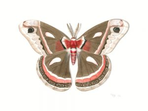 print from a detailed watercolor illustration of a brown and red cecropia moth on a white background
