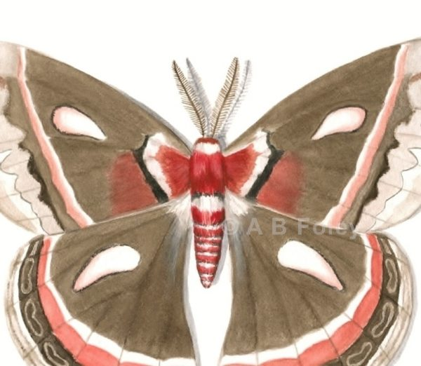 print from a detailed watercolor illustration of a brown and red cecropia moth on a white background, close up of detail