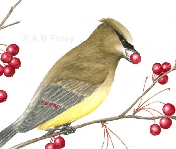original detailed gouache bird illustration of a cedar waxwing eating red berries, close up of detail
