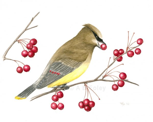 original detailed gouache bird illustration of a cedar waxwing eating red berries