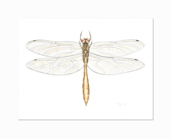 detailed illustration of a gold coppery emerald dragonfly, Somatochlora georgiana on a white background in gouache paint, viewed from a distance.