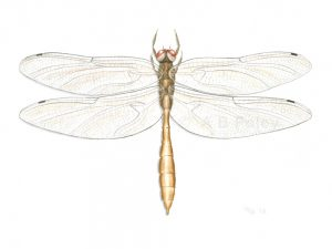 detailed illustration of a gold coppery emerald dragonfly, Somatochlora georgiana on a white background in gouache paint.