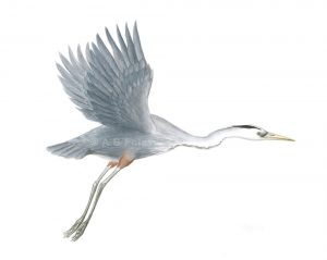 watercolor painting of a great blue heron flying