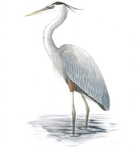 watercolor painting of a great blue heron standing in water