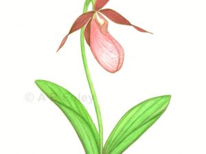 print from a watercolor botanical illustration of a pink lady's slipper flower with stem and leaves on a white background
