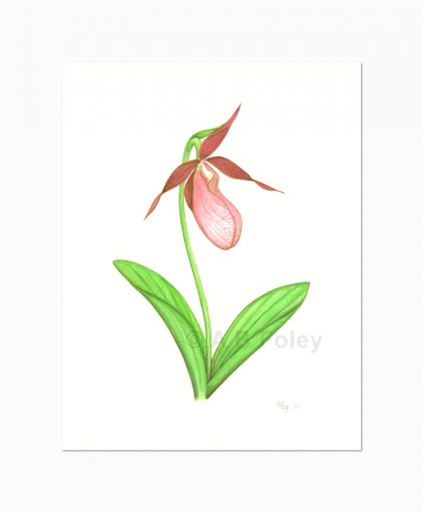 print from a watercolor botanical illustration of a pink lady's slipper flower with stem and leaves on a white background, viewed from a distance