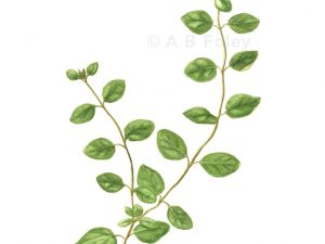 print of a watercolor botanical illustration of an oregano plant