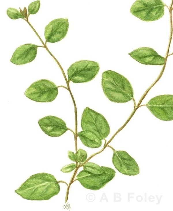 watercolor botanical illustration of oregano sprigs with leaves, close up of detail