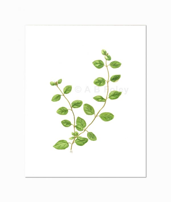 watercolor botanical illustration of oregano sprigs with leaves, viewed from a distance on a gray background