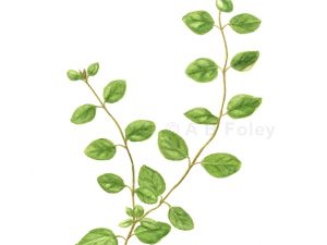 watercolor botanical illustration of oregano sprigs with leaves