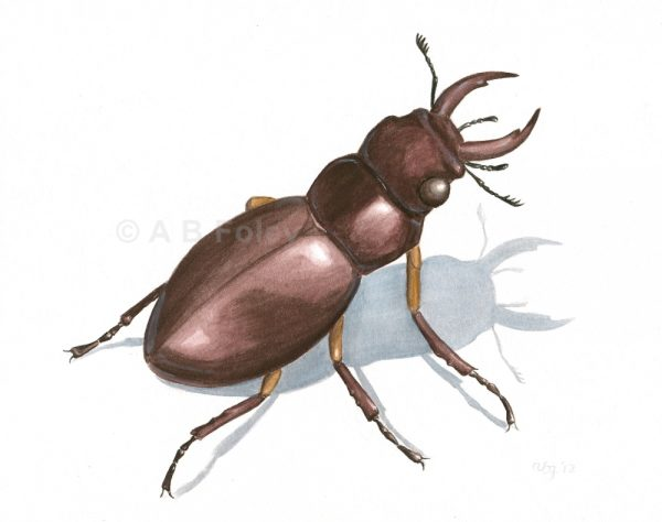 insect illustration of a common stag beetle, Lucanus capreolus, on a white background