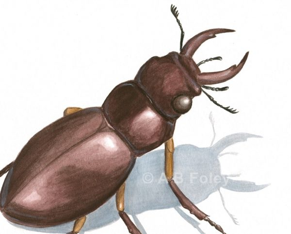 close up of an insect illustration of a common stag beetle, Lucanus capreolus, on a white background