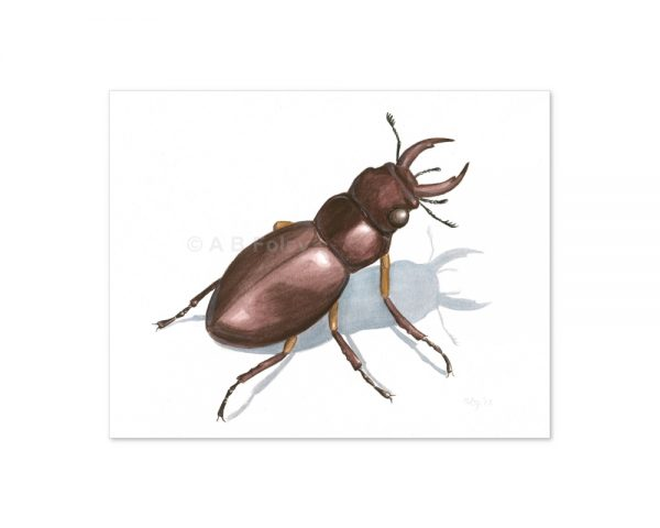 insect illustration of a common stag beetle, Lucanus capreolus, on a white background, viewed from a distance