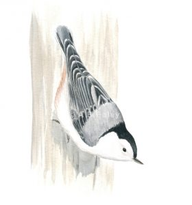 watercolor wildlife illustration of a white breasted nuthatch bird perching