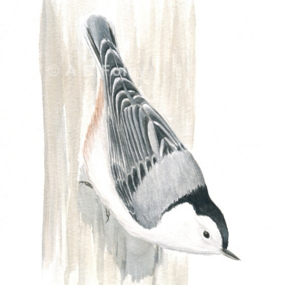 detailed watercolor bird illustration of a white-breasted nuthatch perching upside-down