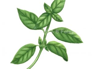 Print image of realistic watercolor painting of a basil plant
