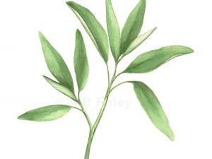 Print from realistic watercolor botanical painting of sprig of green sage leaves