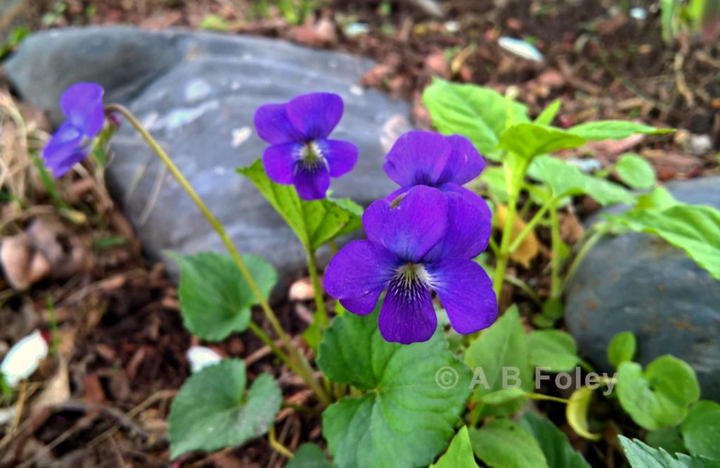 common blue violet (viola sororia) flower growing in front of a gray rock