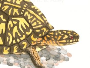 print of watercolor painting of a brown and yellow eastern box turtle on gravel with a white background, close up of detail