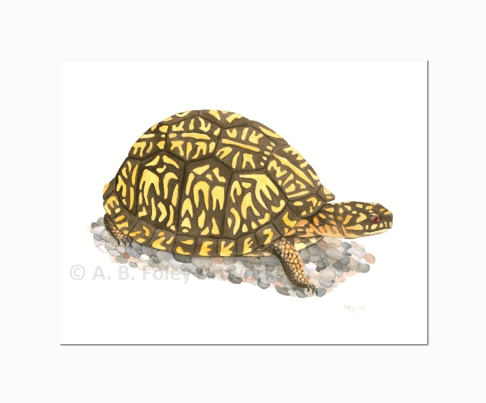 """Eastern Box Turtle"""