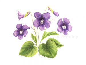 Watercolor botanical painting of common violet flower (Viola sororia) with purple flowers and green leaves