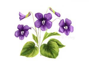 print of a watercolor botanical painting of common violet flower (Viola sororia) with purple flowers and green leaves