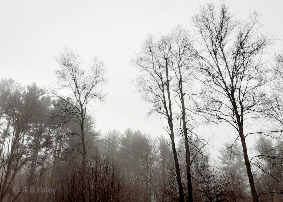 winter trees and forest edge in fog with bare tree tops and cloudy sky