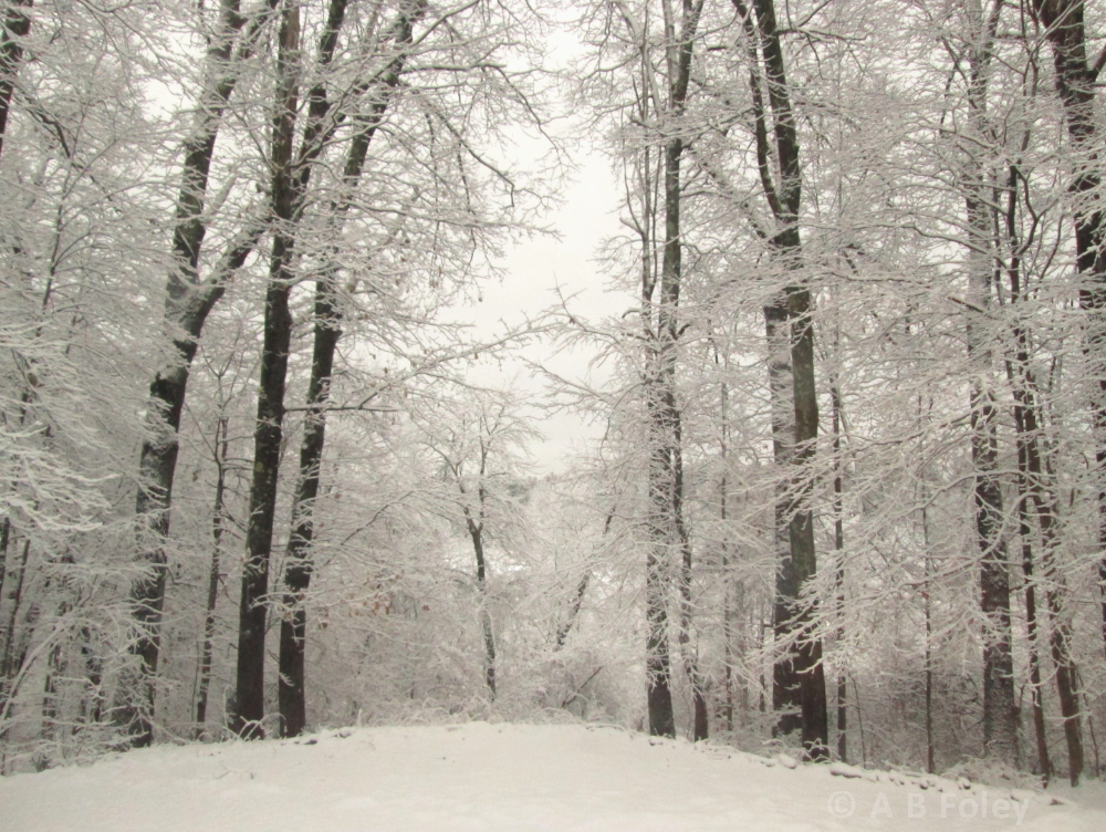 photo of tall trees covered with fresh snow, and a cloudy sky in the background