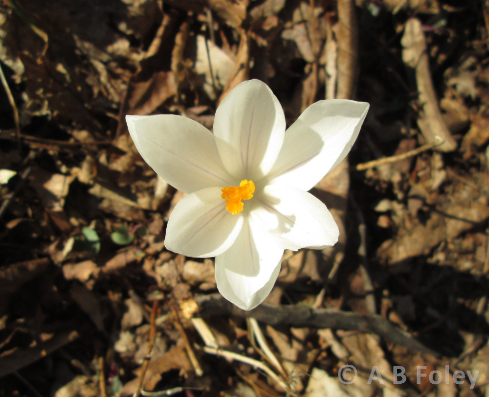 white crocus flower on a brown mulch background