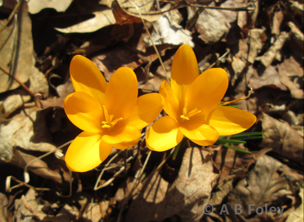 yellow crocus flower on brown mulch background, overhead view