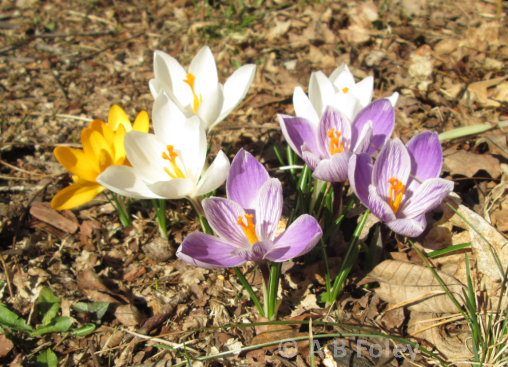 muilticolored crocuses on brown mulch