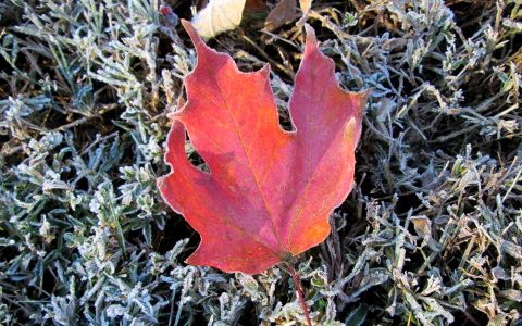 photo of a red leaf covered with frost on grass