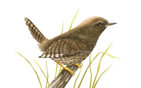 "Birds are among my favorite subjects: ""Pacific Wren"""