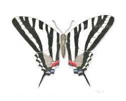 realistic watercolor illustration of a zebra swallowtail butterfly
