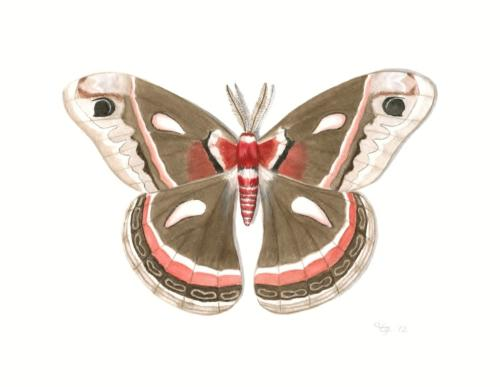 Cecropia Moth